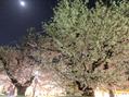 常盤平の桜が綺麗