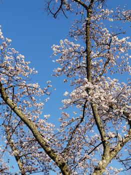 桜_20200405_1