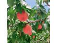 フルーツ狩りシリーズ!!福島の桃♪