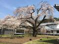 醍醐寺 枝垂れ桜