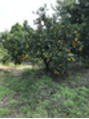 みかんの木