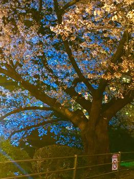 夜桜 ☆ 満開です_20180331_2