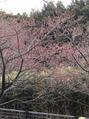 野鳥観察舎近くの河津桜