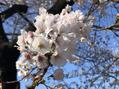 春が来ました♪@ba sho(岡崎)