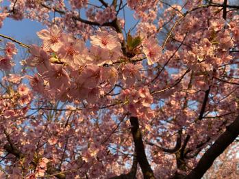 桜~♪_20200319_1