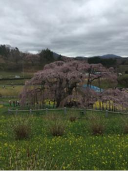 桜♪_20170429_1