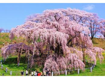 桜♪_20170429_2