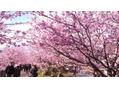地元の伊豆河津は桜満開!