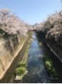前回の夜桜 昼間