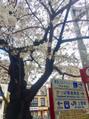 桜の時期になりました♪