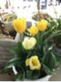 早い夏日3月29日・チュリップが^_^ 3/24と今日花見