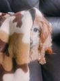わたしの愛犬シフォンくん/KAHO