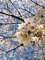 これまた桜