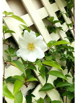 一重のバラが咲きました!_20210421_1