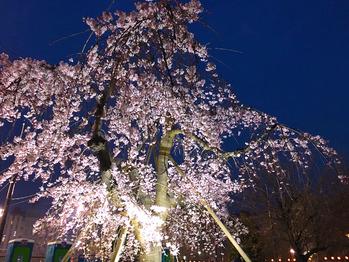 夜桜_20170402_1