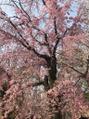 ジャムヴィーボ(Hair Make JAM Vivo)桜