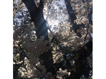 ☆桜☆_20150401_1