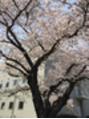久しぶりの桜開花時期に散歩