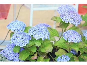 紫陽花が_20150606_1