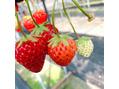 夏は果物を、、、