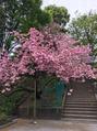 週末の桜と予約