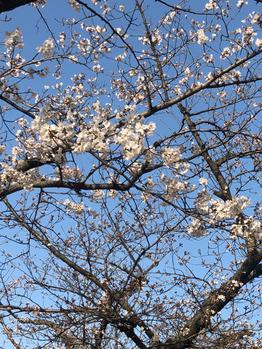 桜祭りはじまってました☆_20180324_1