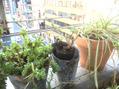 うちの植物の成長日記2017年5月28日