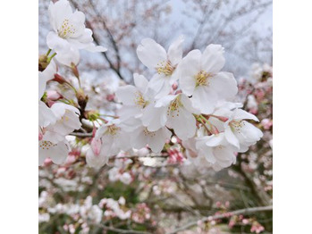 桜_20190408_1