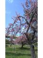 お花見!八重桜