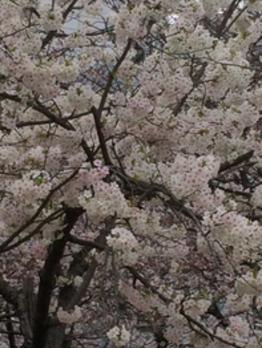 桜満開!_20170406_1