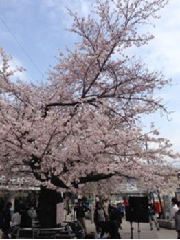 桜の季節_20160401_1
