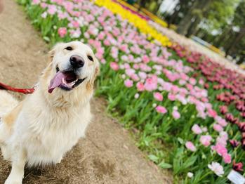 チューリップと愛犬。川村Asami_20210417_1