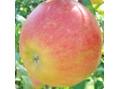 エイジング専門 スパアンドビューティーサロン レガロ(SPA&Beauty Regalo)腐らない!奇跡のリンゴ幹細胞による肌再生パワー◆