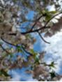 桜の写真が撮れました♪