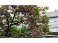 八重桜・ぼたん桜