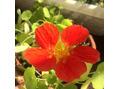お庭はぽかぽか~久々にナスタチューム咲きました~