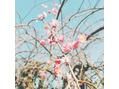 河津桜・梅の花(*'ω'*)