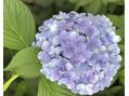 梅雨といえばこのお花