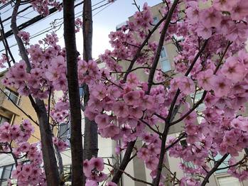 桜が咲き始めましたね。_20190322_2