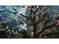 湯島天神 の「梅まつり」