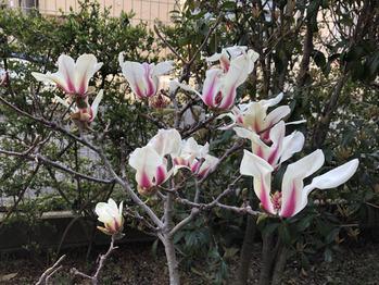 桜が咲き始めましたね。_20190322_3