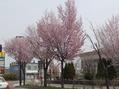 桜咲きましたね!