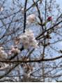*今週は桜祭り*
