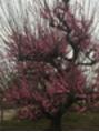 稲沢の梅♪