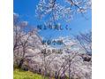 【桜の季節】