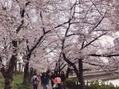 お花見~♪ in桜ノ宮