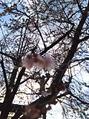 和泉多摩川では桜が咲いてます!12/26・27のご予約案内