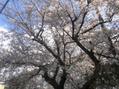 福岡市城南区リンパ整体サロン明近くの桜