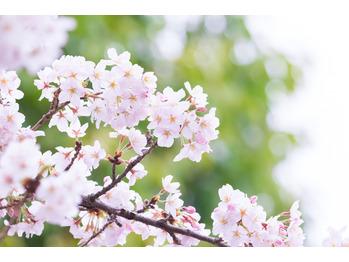 ≪息吹の春≫呼吸サポート専用オーガニックアロマ60分_20170313_1