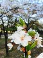 桜とさくらんぼって一緒??